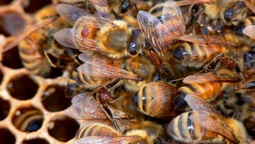How to Model Honeybee Colonies