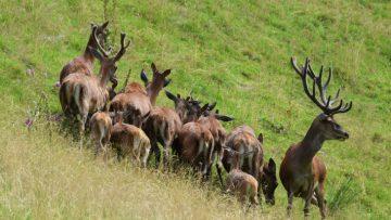 'Watching over the family', deer herd